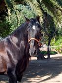 Retrato de semental de pura raza andaluza de bahía. españa — Foto de Stock