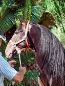 Portrait of beautiful purebred Andalusian bay stallion with man. — Stock Photo