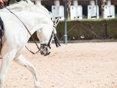 Portrait of Andalusian white horse in movement sunny day. Spain — Stock Photo