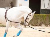 Koń andaluzyjski pracy w lunging — Zdjęcie stockowe
