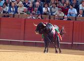 SEVILLA - MAY 20: Spain. Fighting black young bull at arena, o — Stock Photo