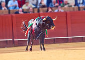 Fighting black young bull at arena, Sevilla. Spain — Stock Photo
