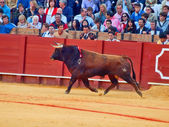 SEVILLA - MAY 20: Spain. Fighting brown young bull at arena, o — Stock Photo