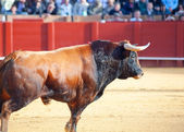 Fighting brown young bull. Sevilla. Spain — Stock Photo