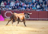 Fighting bull picture from Spain. Brown bull — Stock Photo