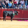 SEVILLA - MAY 20: Spain. Fighting  black young bull  at arena, o - Stock Photo