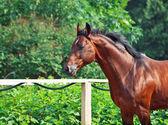 Portret van het runnen van sportieve paard — Stockfoto