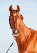 Portrait of red horse — Stock Photo