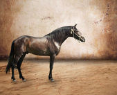 Andalusian breed stallion at abstract background — Stock Photo