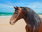 Portrait of Andalusian bay stallion at ocean background — Stock Photo
