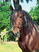 Portrait of beautiful purebred Andalusian bay stallion, sunny da — Stock Photo