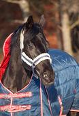 Portrait of beautiful black horse. winter. — Stock Photo