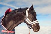 портрет красивый черный конь в пальто на фоне неба — Стоковое фото