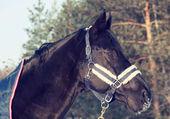 Portrait of beautiful black horse in coat . winter. — Stock Photo