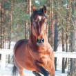 Motion portrait of galloping beautiful   horse. winter - Stock Photo