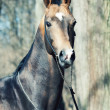Portrait of ahalteke beautiful stallion in spring forest. — Stock Photo