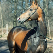 Beautiful ahalteke  stallion in spring forest — Stock Photo
