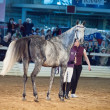 Stock Photo: 03 may 2013: grey gelding of terskaybreed in international