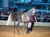 03 may 2013: grey gelding of terskaya breed in the international — Stock Photo