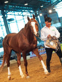 03 may 2013: chestnut russian stallion in the international exhi — Stock Photo