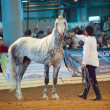 Saint-Petersburg, Russia. 3th May, 2013. grey breed trotter s — Stock Photo #24992895