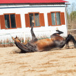 Stock Photo: Fallen ahalteke purebred stallion in open manege