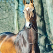 Stock Photo: Portrait of ahalteke purebred stallion in spring forest.