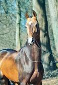 Ahalteke 纯种种马在春林的画像. — 图库照片