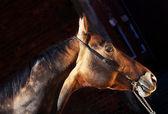 Beautiful portrait of bay purebred akhal-teke stallion — Stock Photo