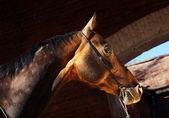 Beautiful portrait of bay purebred akhal-teke stallion at the da — Stock Photo