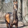 Stock Photo: Beautiful purebred ahalteke stallion in spring forest.