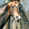 Stock Photo: Beautiful portrait of purebred ahalteke stallion in spring fore