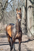 Beautiful purebred ahalteke stallion in spring forest. — Stock Photo