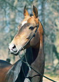 Beautiful portrait of purebred ahalteke stallion in spring fore — Stock Photo