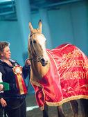 Saint-Petersburg, Russia. 3th May, 2013. Champion of akhalteke — Stock Photo