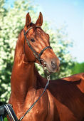 Spring portrait of chestnut Trakehner stallion — Stock Photo