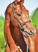 Ritratto di primavera di stallone trakehner castagno — Foto Stock