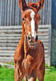 Little chestnut foal of sportive breed — Stock Photo