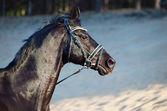 Portrait of Beautiful black stallion in motion — Stock Photo