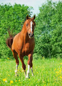 Chestnut arabian horse in movement — Stock Photo