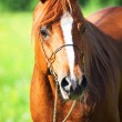 Portrait of arabihorse in motion. close up — Stock Photo #26363051