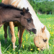 Little  foal of welsh pony with mom — Stock Photo