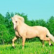 Running palomino welsh pony  in blossom field — Stock Photo