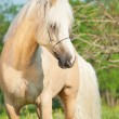 Beautiful palomino welsh pony in blossom field — Stock Photo #26451753