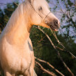 Beautiful palomino welsh pony — Foto Stock #26454445
