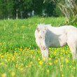ストック写真: Little foal of welsh pony in grassland