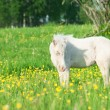 Stock Photo: Little foal of welsh pony in grassland