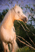 Beautiful palomino welsh pony — Stock Photo