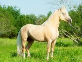 Beautiful palomino welsh pony stallion — Stock Photo