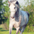 Stockfoto: Grey arabihorse in movement